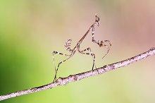 empusa pennata praying mantis