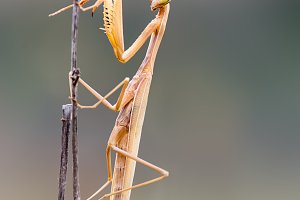 praying mantis on a branch isolated