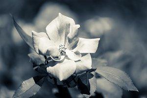White rose in duotone