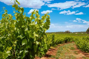 Young vineyards rows with blue sky