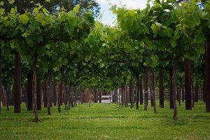 Vineyards rows in spring time