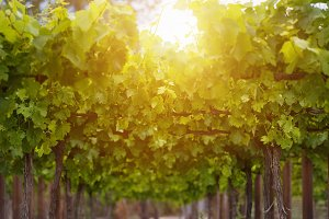 spring season with vine leaves