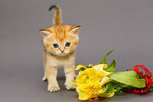 Red British kitten and flower