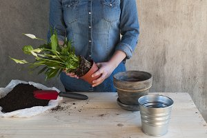 Woman planting an ornamental plant