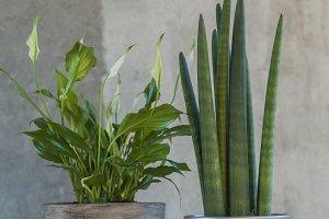 Calla and sanseveria plants in pots