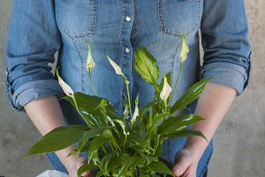 Woman planting a calla flower plant