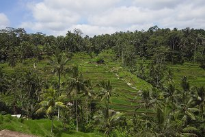 Terrace rice fields in Ubud, Bali,Indonesia.