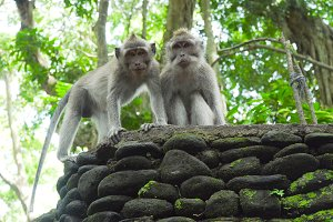 Monkeys in the forest in Bali.