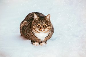 Tabby cat walking in snow