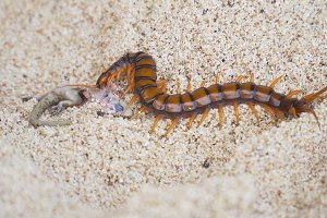 Centipede, Scolopendra eats gecko on the sand