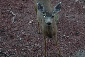 Doe Looking At Camera