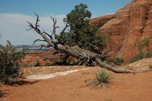 Gnarled And Weathered Desert Tree