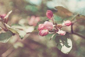 Spring Apple, Pink Buds