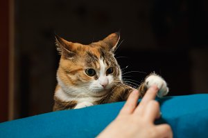 Funny angry cat. Orange cat playing with human hand on the blue pillow