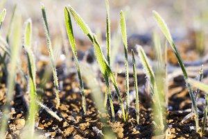 Green wheat in frost