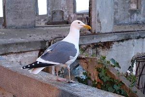 Bird of Alcatraz