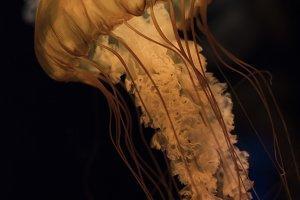 rosy jellyfish