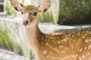 spotted deer, nara
