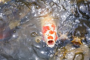 spotted koi fish