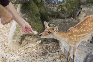 feeding baby deer