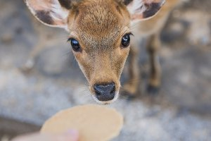 curious baby deer