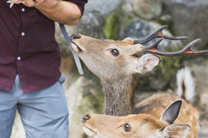 feeding deer at nara, japan