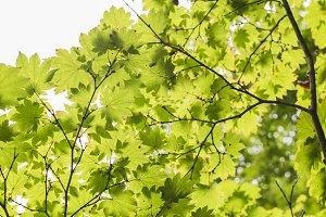 japanese maple canopy
