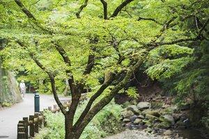 japanese maple along river