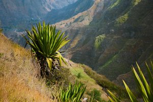 Agave growing on a steep slope. Mountain range in the background. Santo Antao Island, Cape Verde