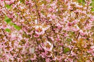 Sakura blossom branch