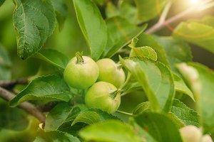 Green fruit apples