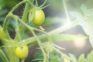 Green young tomato vegetable