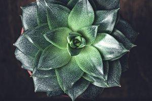 Stone Rose succulent cactus