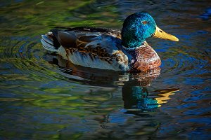 Drake Mallard Portrait on Water