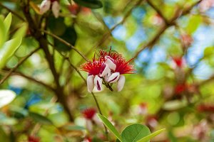 flower feijoa