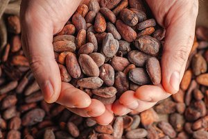 Hands holding raw cocoa beans