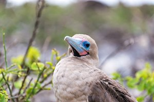 Red Footed Booby Closeup