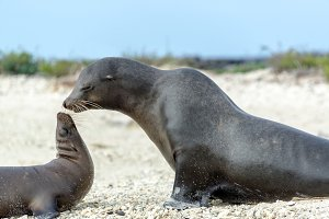 Sea Lion Mother and Child