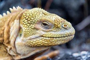 Land Iguana Closeup