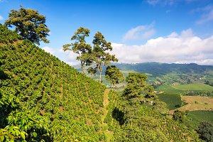 Green Coffee Landscape