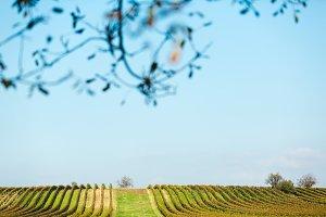 Gols vineyards
