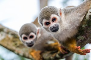 Two Squirrel Monkeys