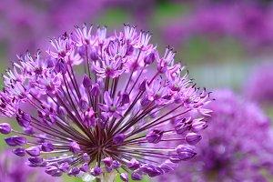 Purple floral landscape