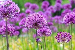 Colorful flowers & purple landscape.