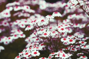 Chamomile: red disc and white petals