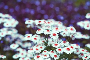 Chamomile: red disc & white petals