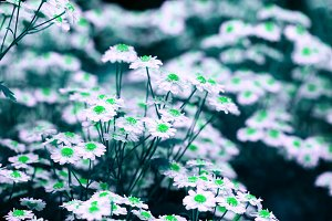 Chamomile: green disc & white petals