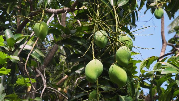 Mangoes On Mango Tree