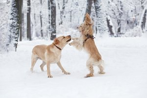 Dogs Playing in Snow. Winter dog wal