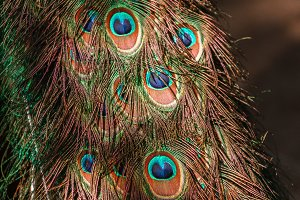 tail of a blue peacock. feathers peacock background